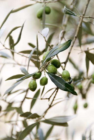 Olive Del Frantoio Porto Di Mola