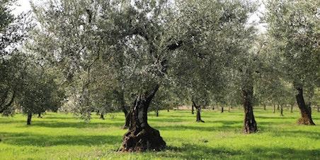 Storia, miti e leggende dell'ulivo