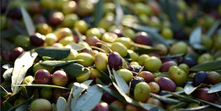 Quali sono le migliori varietà di olive per l'olio?