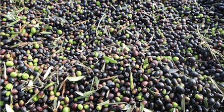 Cos'è la gramolatura delle olive e perché è importante