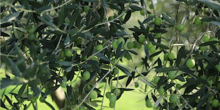 Foglie d'ulivo: effetti benefici e proprietà