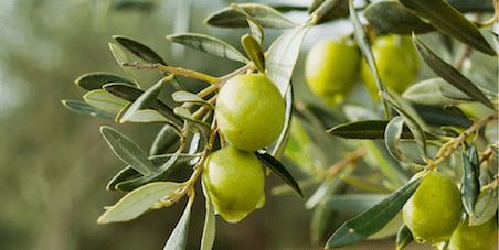 La Resa Delle Olive: Cos'è E Da Cosa Dipende