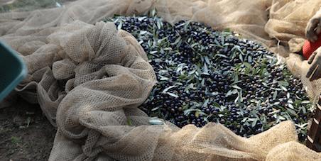 La raccolta delle olive: Come e quando effettuarla
