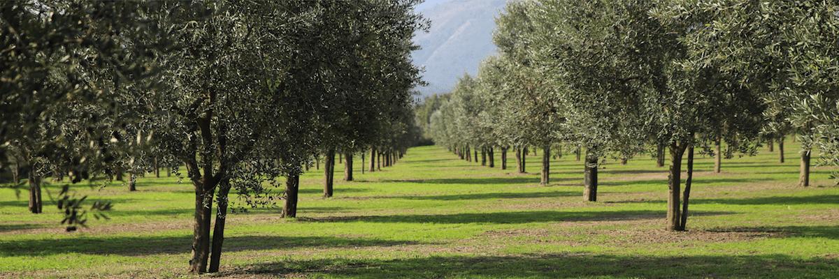 Errori più comuni nella coltivazione dell'olivo