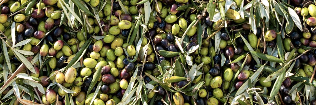 Olivo Varietà Coratina: caratteristiche e resa dell'olio