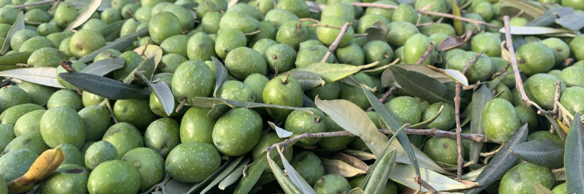 Caratteristiche Cultivar Itrana