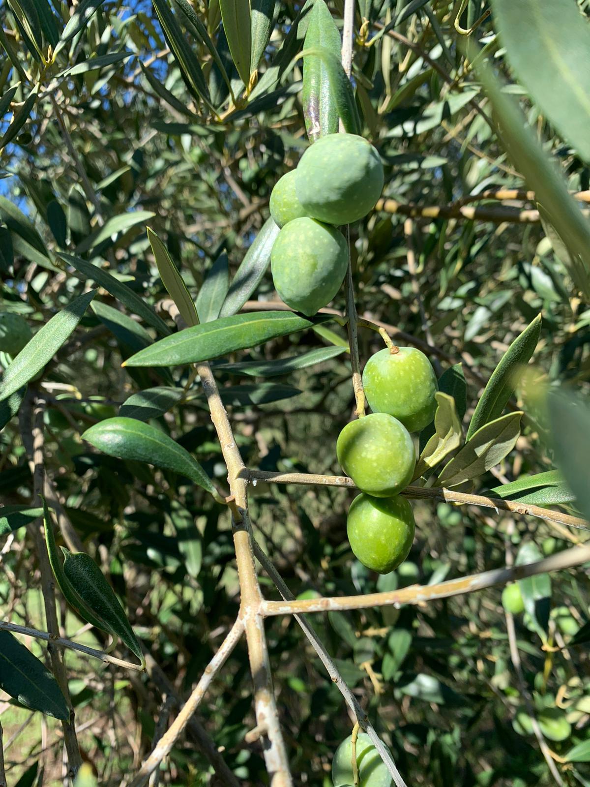Olive Varietà Itrana